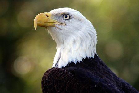 medium shot: Medium shot of a head and neck of an American bald eagle. Stock Photo