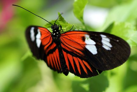 Butterfly with wings open sits perched on a leaf