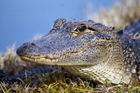 medium shot: Medium shot of an alligator head as it sits beside a pond