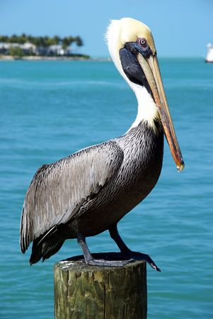 Pelican sits on a pier post