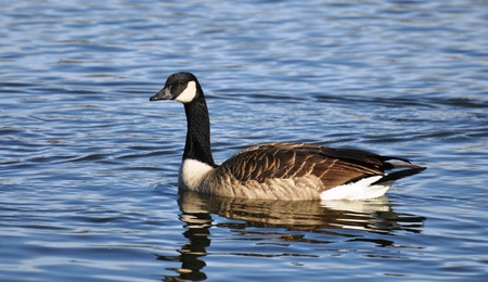 Canadian Goose on Water