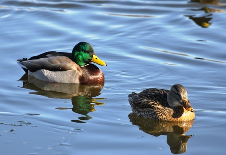 Mated Pair of Ducks Stock Photo - 12751472