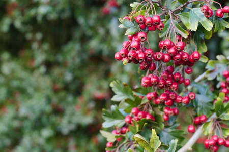 Red Berries hanging from a tree Stock Photo