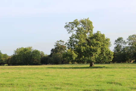 A tree in a grassy field with a row of trees in the background