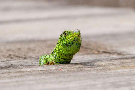 snappy: Lizard