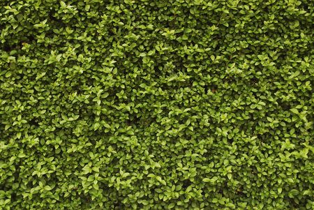 Seamless background - green fresh hedge