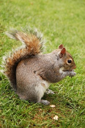 squirrel in Hyde Park, London photo