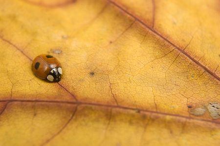 Close up of ladybug on orange autumn leaf. photo