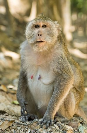Wild adult macaque monkey portrait in Cambodia Stock Photo - 6831881