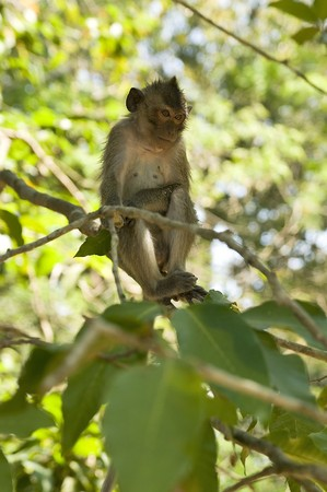 Wild adult macaque monkey portrait in Cambodia photo