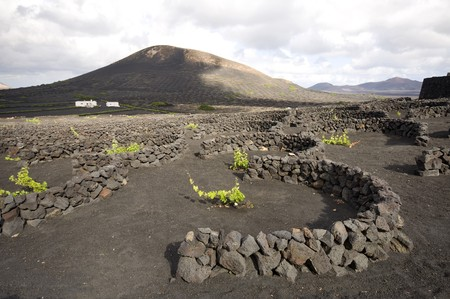 vineyard plain: Vineyard at Lanzarote using volcanic dust, Canary Islands