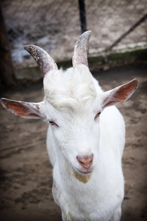 Funny cute goat at the farm. Portrait photo. photo