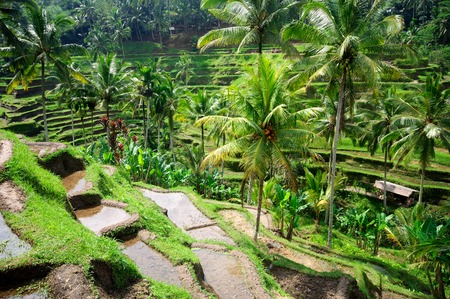 indonesia people: Beautiful green terrace paddy fields on Bali, Indonesia