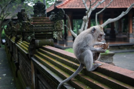 Padangtegal Monkey Forest, Wenara Wana, sacred sanctuary and touristic destination in Ubud, Bali, Indonesia Stock Photo