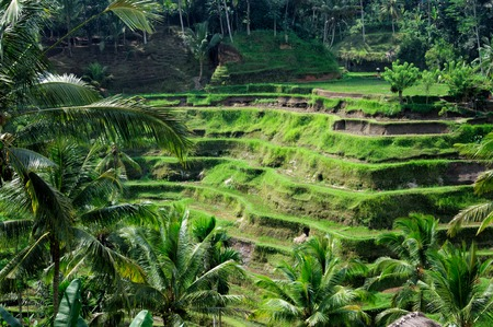 green fields: Beautiful green terrace paddy fields on Bali Indonesia