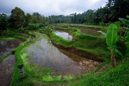 paddy: Beautiful green terrace paddy fields on Bali Indonesia