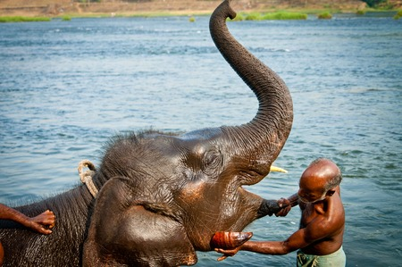 periyar: Trainers bathing elephants from the sanctuary colse it Ernakulam Kerala South India. It39s a popular tourist attraction in the area.