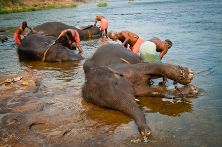 mahout: Trainers bathing elephants from the sanctuary colse it Ernakulam Kerala South India. It39s a popular tourist attraction in the area.