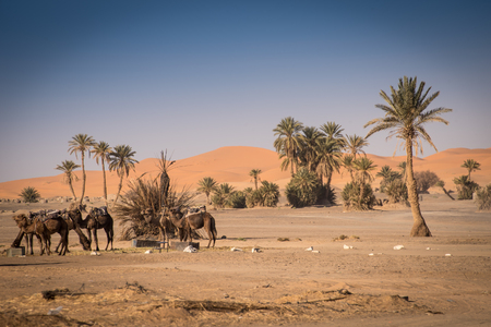 erg chebbi: Oasis and camels in Hassilabied, Erg Chebbi, Sahara Desert, Moroco