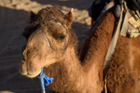 Camel, Sahara Desert, Merzouga, Morocco. Stock Photo