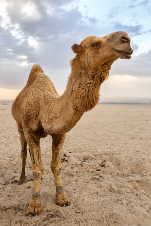 Camel standing in the desert Stock Photo