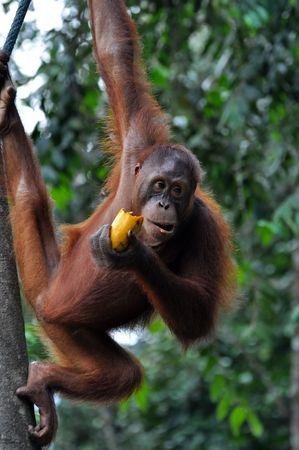 Orangutan female eating mango