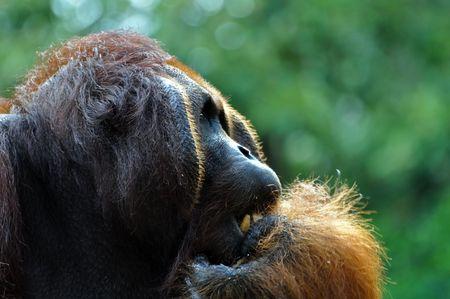 Big dominant orangutan male having a rest in rainforest. photo