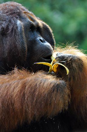 comiendo platano: Gran orangut�n macho comiendo pl�tanos.