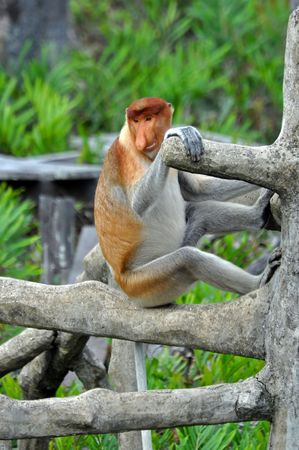 proboscis: Proboscis monkey sitting on a tree in the national park, Borneo.