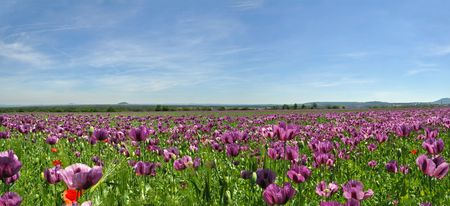 poppy leaf: Beautiful panorama of poppy field during the summer day.