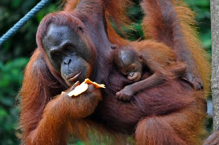 orangutang: Orangutan female with a baby