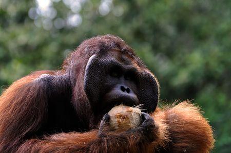 Big orangutan male with coconut. Stock Photo - 7535287
