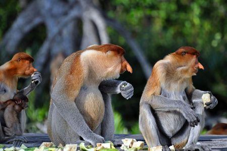 proboscis: Group of proboscis monkeys during the feeding time, national park in Borneo.