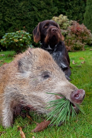 hunted: Hunted wild boar and Czech coarsehaired pointer.