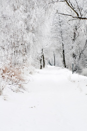 Snowy road lined with trees, vertical shot. photo