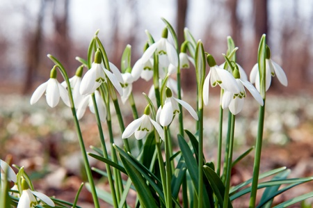 Close up of a snowdrops in a sunny day. photo