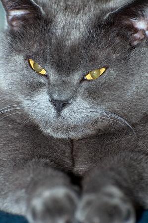 A blue British Shorthair cat, vertical shot. photo