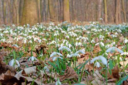 Field of a snowdrops in a sunny day. photo
