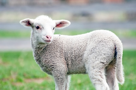 A toy-like lamb, only five days old. Stock Photo - 9327785