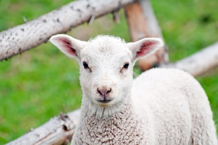 A toy-like lamb, only five days old. Stock Photo - 9420458