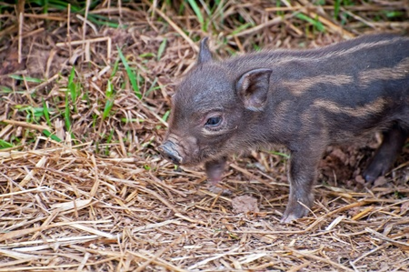 pigling: Detail of a beautiful brown piglet in grass. Stock Photo