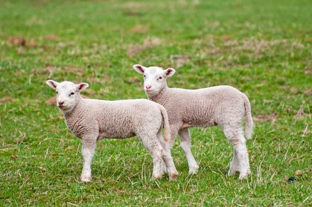 A toy-like lambs, only five days old. Stock Photo - 9538658