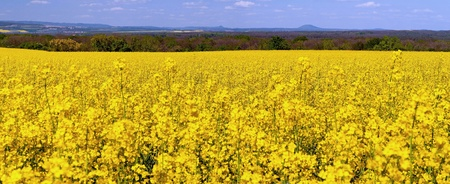 Beautiful panorama of oilseed rapes during the summer day. Stock Photo - 9538660