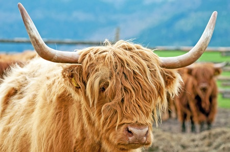 Detail of Highland cattle during the daytime. Stock Photo - 9750257