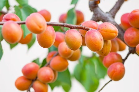 day time: Apricots on tree during the day time. Stock Photo