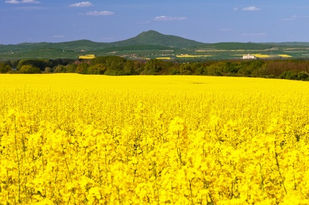 Beautiful view of oilseed rapes during the summer day. Stock Photo - 9958678