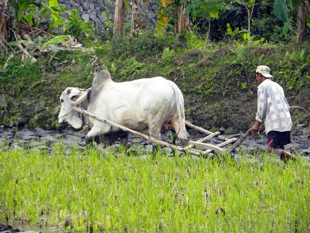 ricefield: MENGWI, BALI - 4 JULY, 2009: Typical Balinese farmer works in the rice field with his cow on July 4, 2009 in Mengwi, Bali. Rice cultivation is still the island's biggest employer.