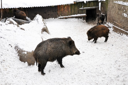 Wild boars during the winter time, horizontal shot. photo