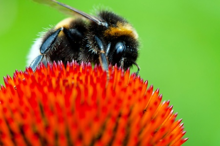 Detailed view of bumblebee on a flower. Stock Photo - 9958929