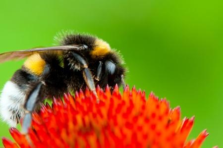 Detailansicht Hummel auf einer Blume.